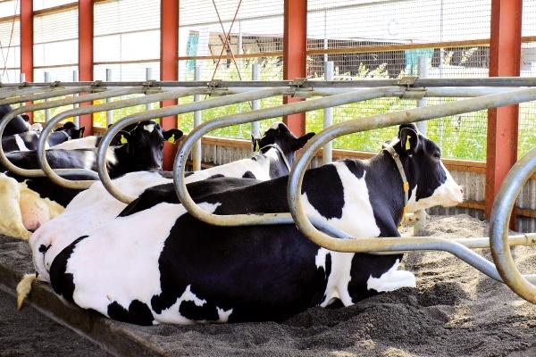 飼育されている牛